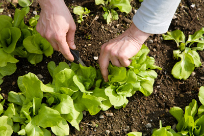 Planning a vegetable garden – crop rotation