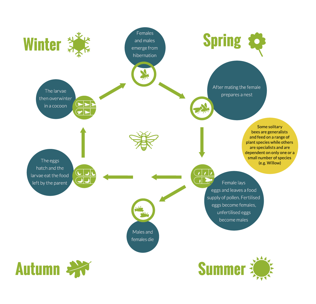 Pollinator-Plan-Infographics_solitary-bee-lifecycle