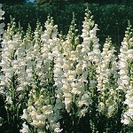 Antirrhinum Royal Bride