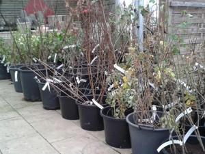 bareroot-hedging wexford