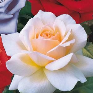 Chandos Beauty Rose