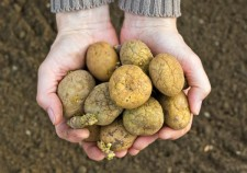 Seed Potatoes in stock Wexford
