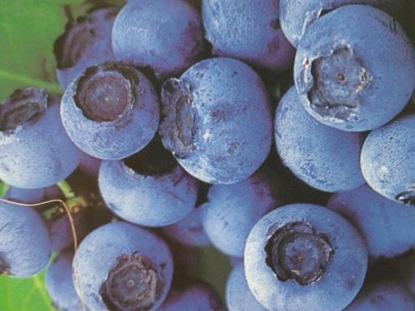 Blueberrys Wexford