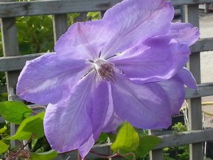 Clematis-Mrs-Cholmondeley