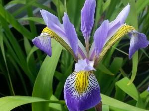 Iris-Tol-Long