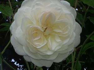 iceberg-floribunda-rose