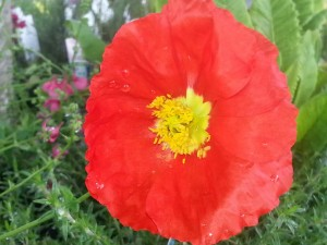 papaver-nud-sapring-fever-red