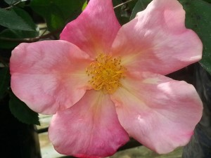 rose-china-mutabilis